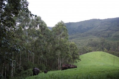 Elephants grazing green grass in forest