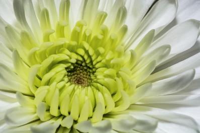 Closeup of a beautiful Daisy flower in a garden