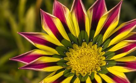 Closeup of a Pink Yellow Green Orange color Gazania flower