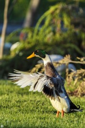 Colorful male Mallard Duck or Wild Duck flapping its wings