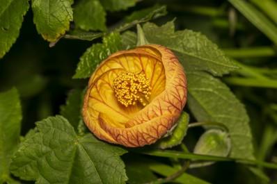 Abutilon Pictum (Redvein Abutilon) flower