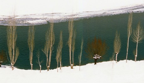 Poplars in snow near Kargil