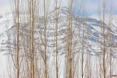 Poplars in winters , Ladakh.