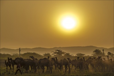 Rising sun shine with camels beauty