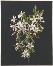 Branch of Azaleas in Bloom, 1831