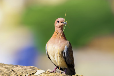 Closeup of colorful Dove isolated